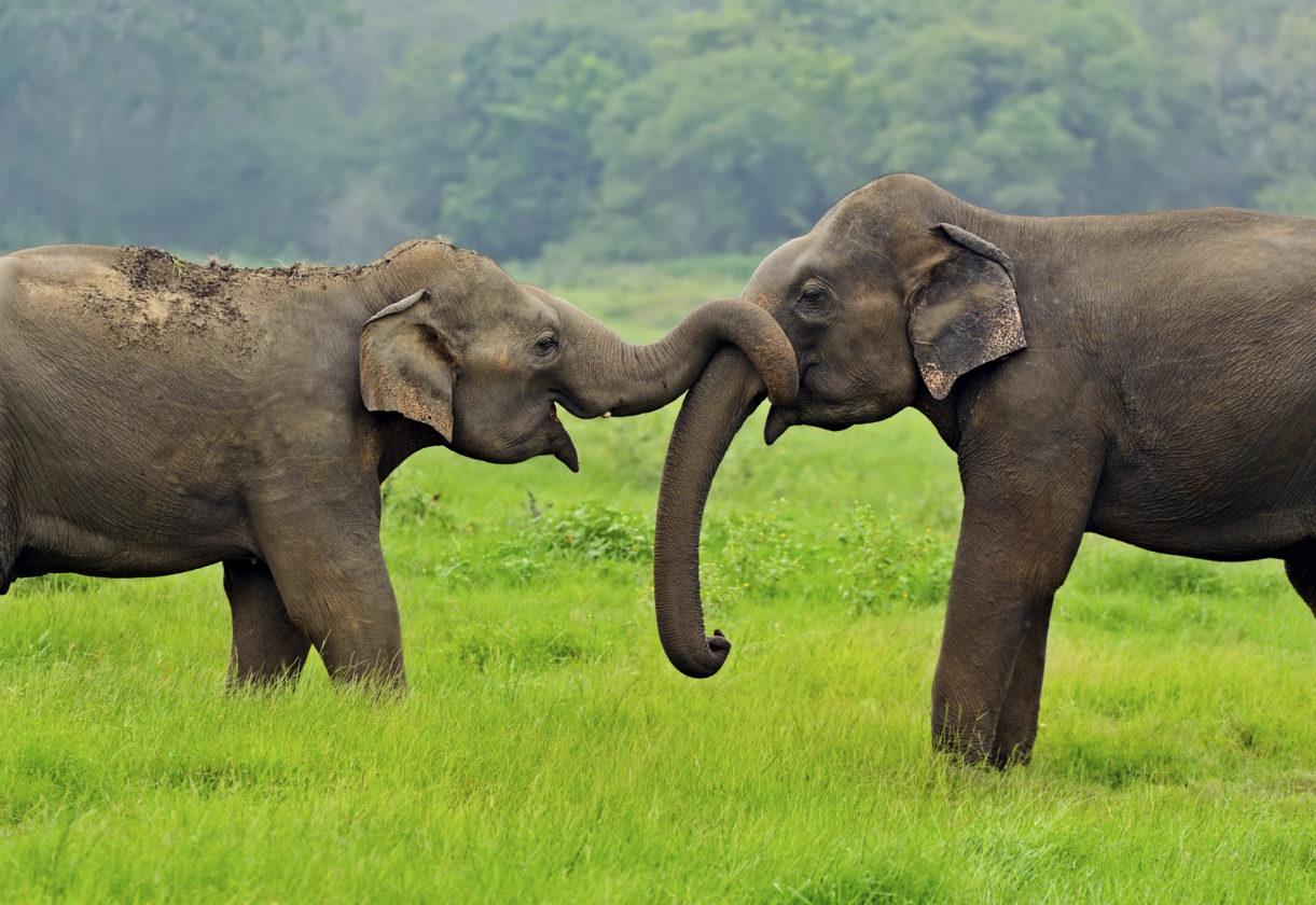 Elephant in the wild on the island of Sri Lanka