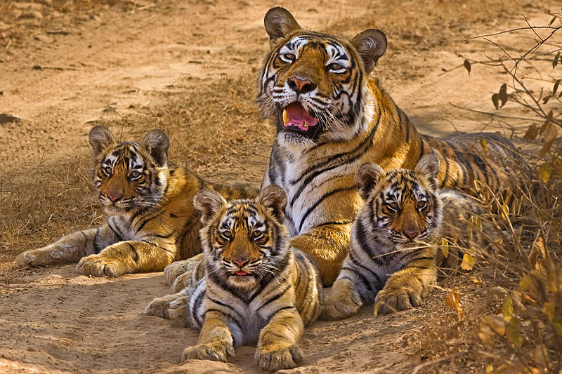 Machali-with-her-cubs
