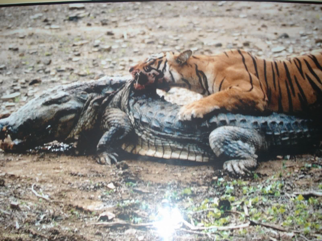 Machli crocodile_kill